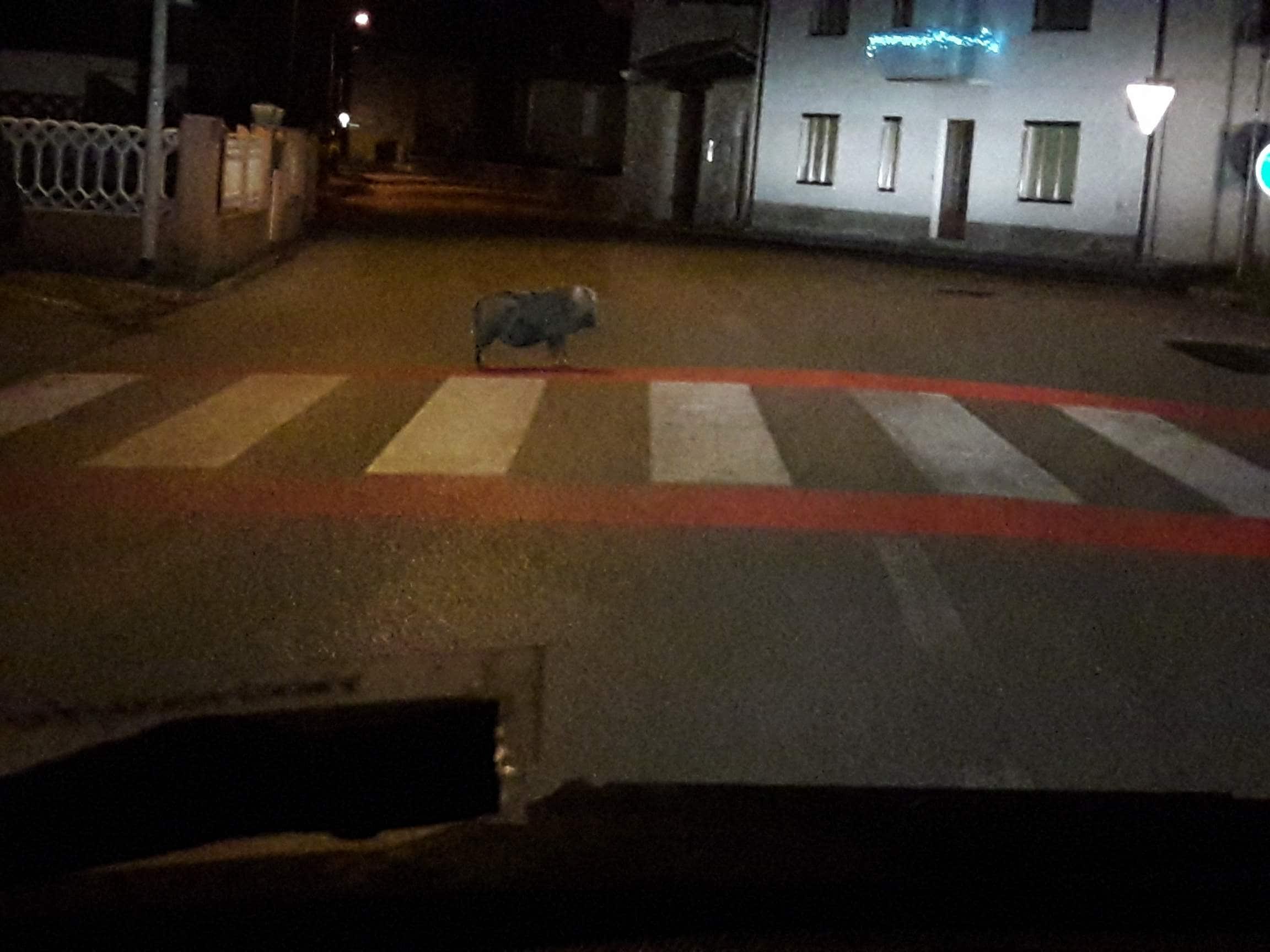 Avvistamento di cinghiale a Loneriacco, frazione di Tarcento-3