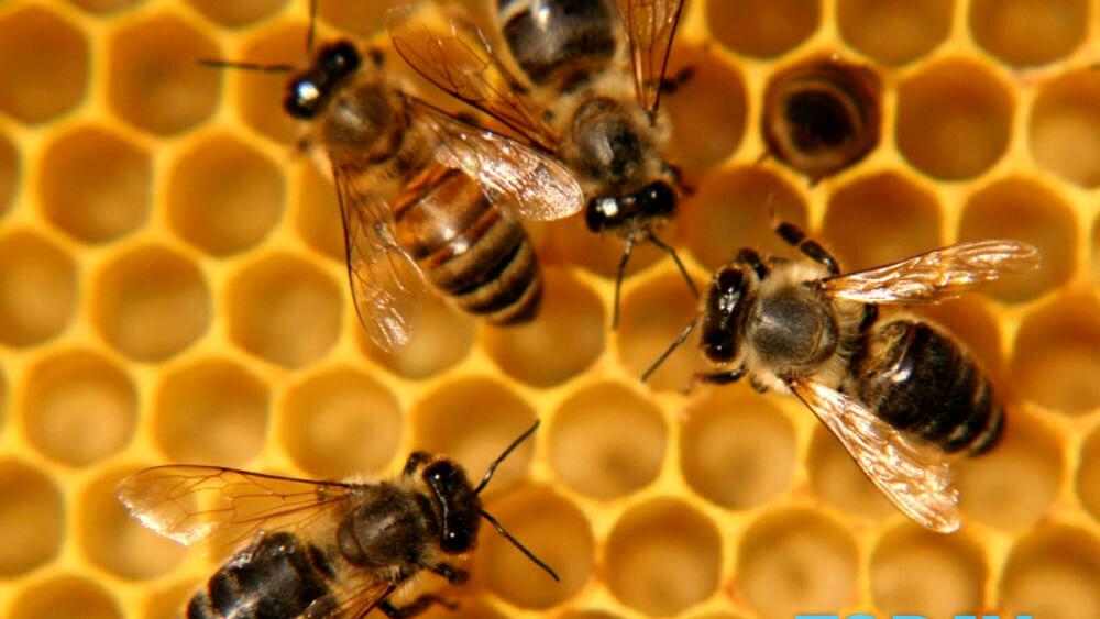 """Un dispositivo sul torace delle api per un """"alveare intelligente"""": l'invenzione rivoluzionaria di un'azienda friulana"""