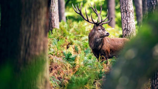 Parco delle Prealpi Giulie: l'escursione per ascoltare il bramito dei cervi