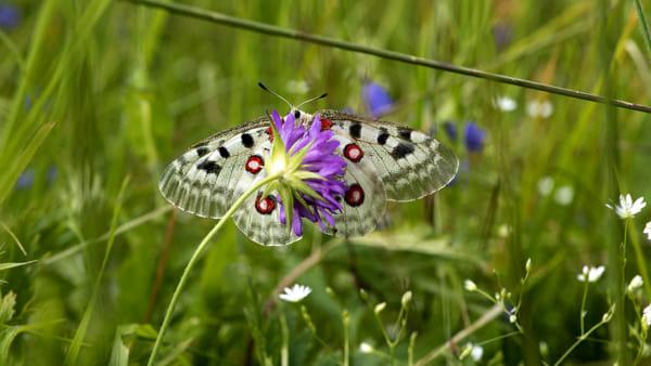 """""""Butterfly Safari"""", due giorni di escursioni in mezzo alla natura alla Tana in Val Resia"""