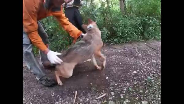 VIDEO Lo sciacallo dorato per la prima volta in Italia in natura