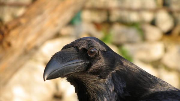 """Halloween a Cornino con il """"corvo imperiale"""""""