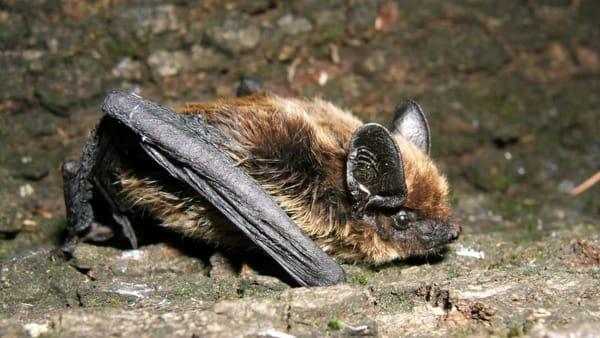 Al Museo Friulano di Storia Naturale torna la Bat Night