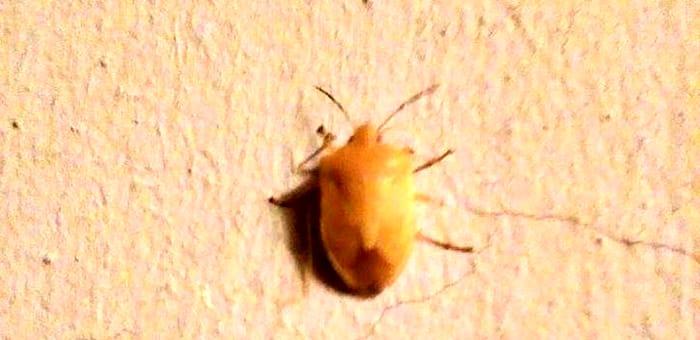 Cimice gialla-2