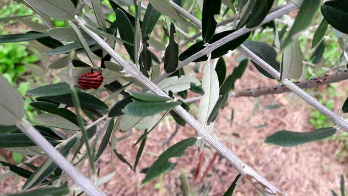 Cimice rossa a strisce nere-2